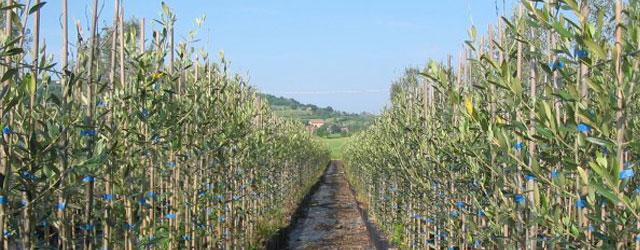 Dal 1984 fornisce le migliori piante per la produzione di Olio Toscano IGP